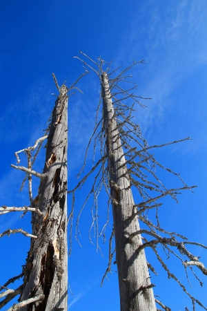 Low angle view of two dead and decaying bare tree trunks reaching for the clear blue sky photo