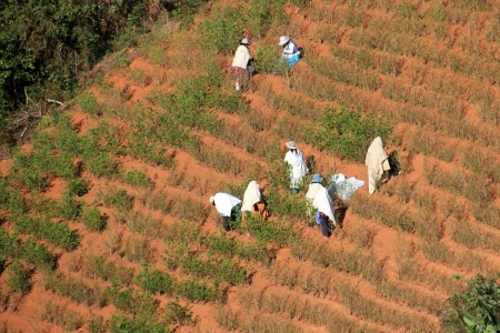 A Group of People harvesting Coca Leaves in South America