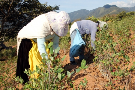 growers: Tow women harvesting Coca leaves in Bolivia, South America Stock Photo