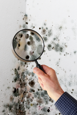 spores: A Man with magnifying glass checking mold fungus Stock Photo
