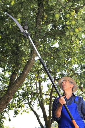 arboles frutales: Un Jardinero haciendo poda de árboles en su jardín Foto de archivo