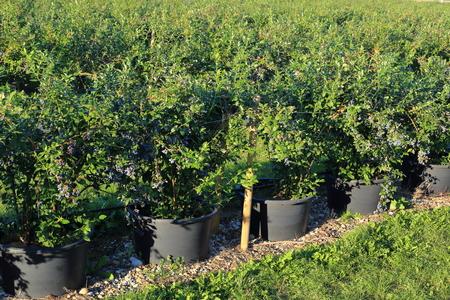 Eimer pflanzt Heidelbeeren Nursery Garten Standard-Bild - 58202639