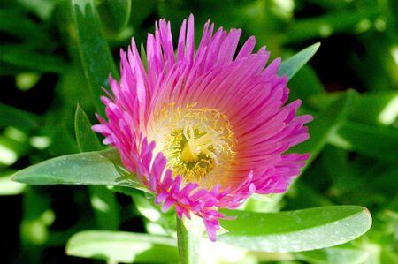 pink desert flower