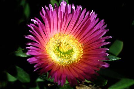 fiore rosa del deserto Archivio Fotografico - 2764345