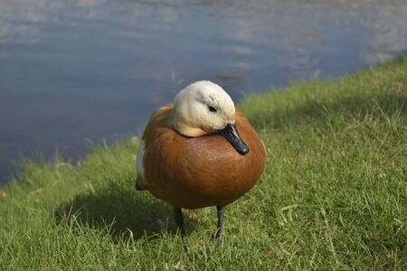 arrived: Duck arrived to pose