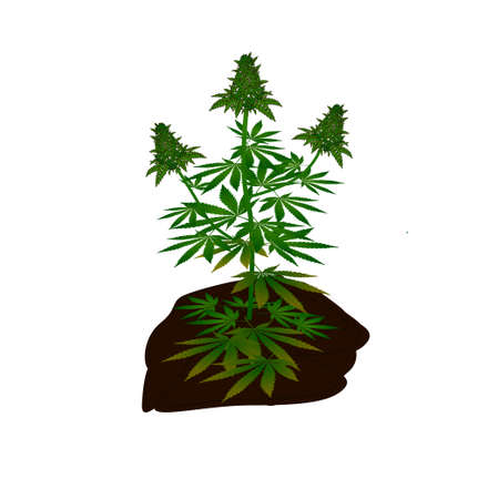 Cannabis marijuana Tree plant vector ready to use and edit for your content design 向量圖像