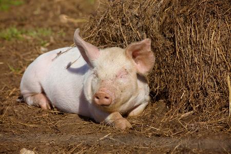 a piglet enjoys sunny dat in mud