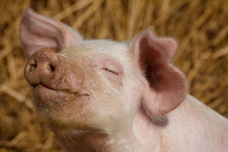 Pig enjoying the muddy sunshine afternoon