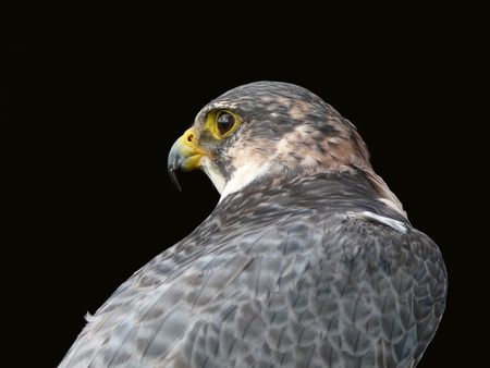 The beautiful falcon is looking for a new prey Stock Photo