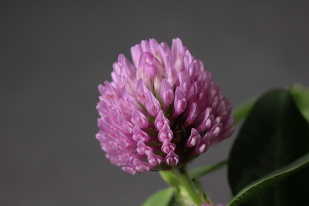 Red Clover flower close up