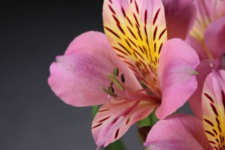 Beautiful alstroemeria flower close up