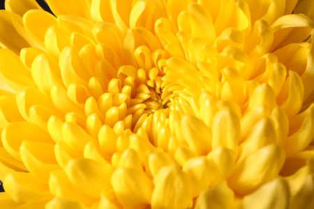 Yellow chrysanthemum flower on black background