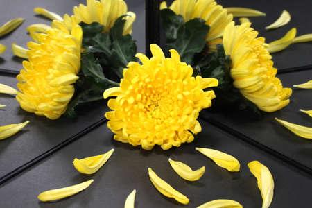 Yellow chrysanthemum flower reflecting in the mirror