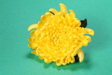 Yellow chrysanthemum flower close up Imagens