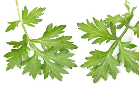 fresh mugwort on white background