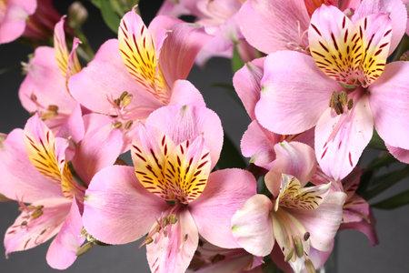 Beautiful alstroemeria flower close up Banco de Imagens
