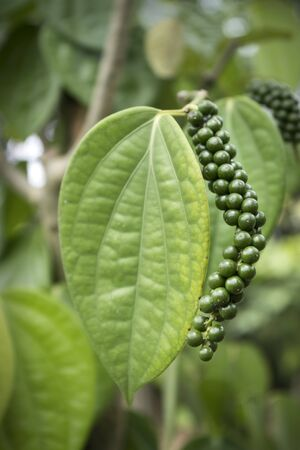 White pepper plant. A leaf with a cluster of pepper is observed. organic garden 免版税图像