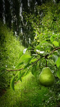 One pear hanging from the tree branch, looks delicious and ripe, about to fall. Behind, a beautiful farm full of pear trees and poplars. Vertical macro photography