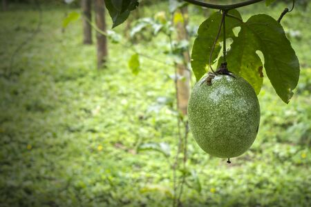 passion fruit hanging from the plant. organic garden