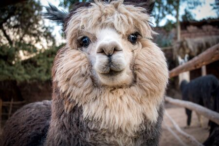 Tender look of an alpaca. This mammal corresponds to the family of camels. Latin America
