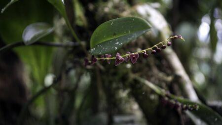 Microscopic purple orchids from Ecuador, Amazon Rainforest