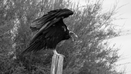 "American vulture known as ""Jote"" in Argentina and Chile. It is about to fly while standing on a dried trunk. Black and white photography"