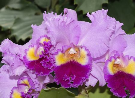 Cattleya Drumbeat Heritage Orchid Stock Photo
