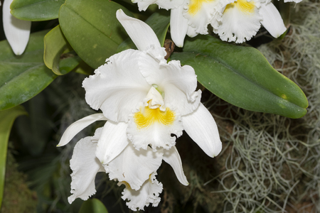 Cattleya Mary Lynn McKenzie Natures Masterpiece Orchid Stock Photo