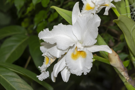 Cattleya Patricia Lines No 662 Orchid