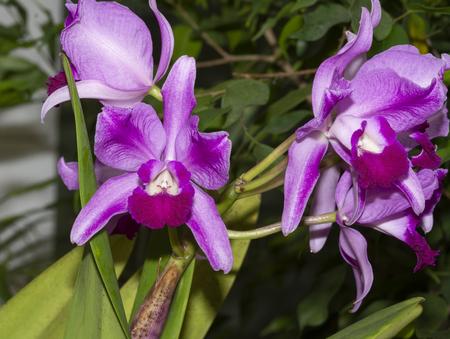 Cattleya Zeno Orchid Stock fotó