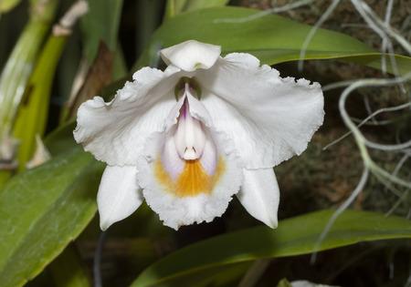 Cattleya Quadricolor Orchid Stock fotó - 117555434