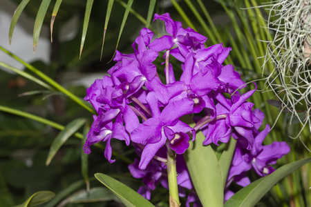 Guarinanthe Bowringiana Splendens Orchid