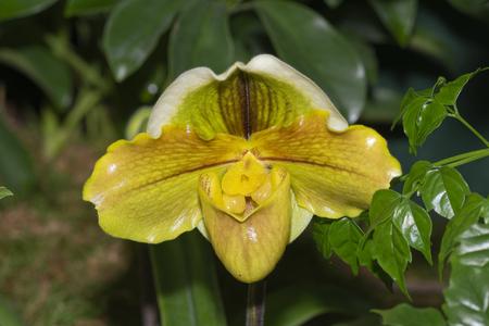 Paphiopedilum Hybrid Orchid Stock fotó