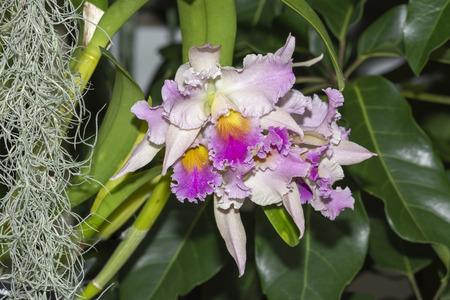 Rhyncholaeliocattleya Hybrid Orchid Stock fotó - 117555564