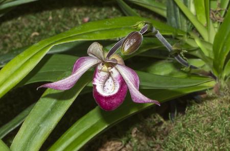 Phragmipedium Sedenii Blush Orchid