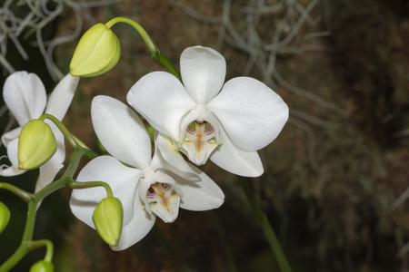 Phalaenopsis Aphrodite Motes Orchid