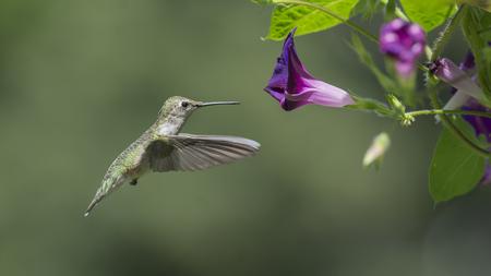 Cierre del día: Colibrí garganta de rubí observando cómo se cierra una flor de Morning Glory.