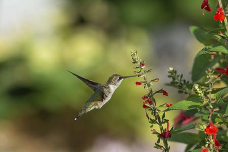 Rubin-throated Kolibri, der sich von rotem Salbei ernährt.
