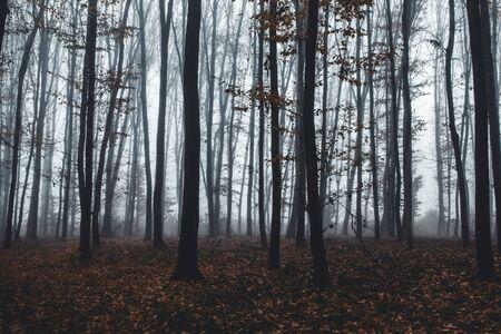 hohe Bäume im Nebel im Wald