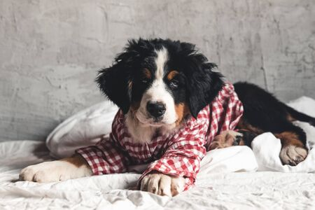 Cute Bernese Mountain Dog with red shirt on blanket