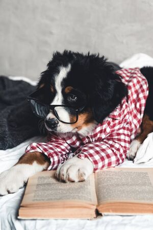 Cute Bernese Mountain Dog with red shirt on blanket with a book and glasses.