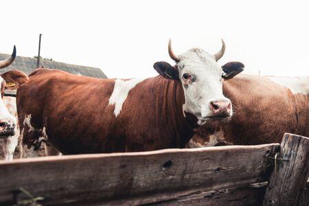 milch cows in farm