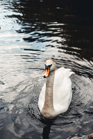 Mute swan and ducks in the background. Taken in Prater, Vienna. The lake used to be a billabong of the Danube river. Stock Photo