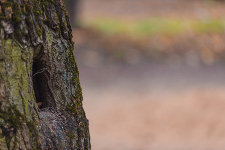 Old tree with beautiful bark and hollow squirrel in autumn forest