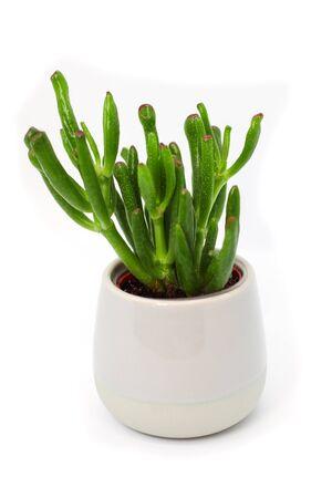 Succulent Crassula ovata Gollum. Potted houseplant.  Gollum Jade, Trumpet Jade, ET's Fingers and Hobbit's Pipe Jade. fleshy tubular leaves with red tips similar to suckers