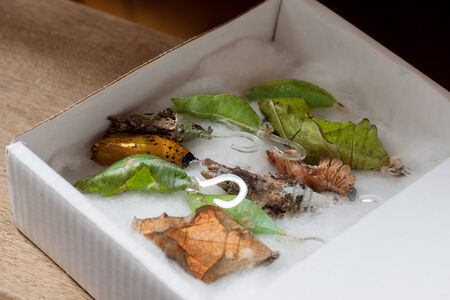Butterflies cocoons prepared for butterfly farm. Cocoons in a box with cotton. different types of cocoons of butterflies Foto de archivo