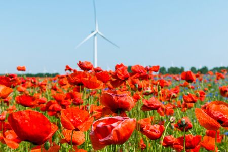 Red poppy is in nature in bloom without people in sunshine. Poppy flower in the cornfield with a wind energy turbine in the background and blue sky Imagens