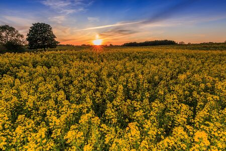 Rape field in spring in Germany in the evening. Yellow rape flowers at sunset. Trees and shrubs in the field. Colorful sky with clouds during sunset