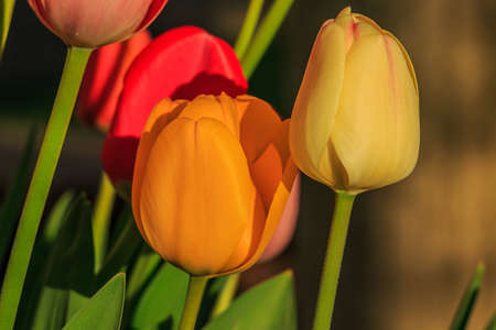 Slightly open flowers of the plant in spring. Yellow orange and red flower heads of tulips in sunshine. Petals in detail of the genus of plants in the lily family. Green flower stems and leaves Stock Photo