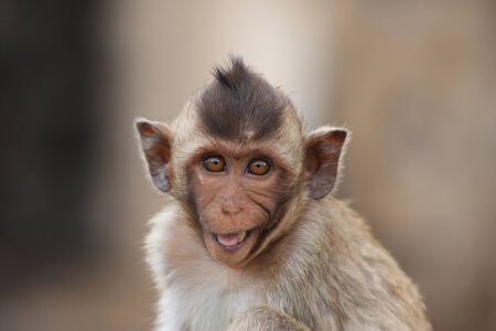 cute macaque sitting on a brown background. photo